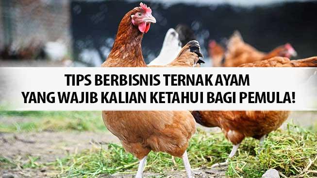 Tips Berbisnis Ternak Ayam yang Wajib Kalian Ketahui Bagi Pemula!